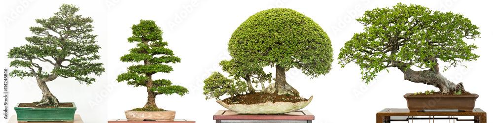 bonsai baum als ulme aus china chinesische ulme im panorama foto poster wandbilder bei. Black Bedroom Furniture Sets. Home Design Ideas