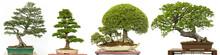 Bonsai Baum Als Ulme Aus China...
