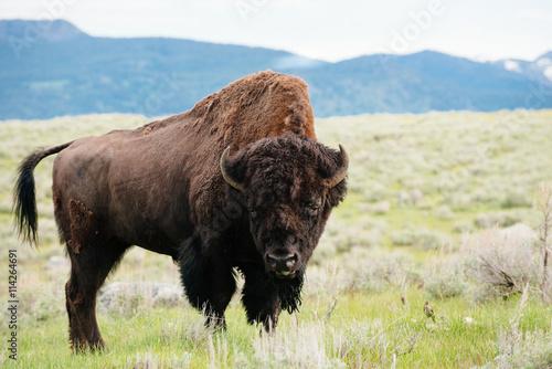 Bison on grassland