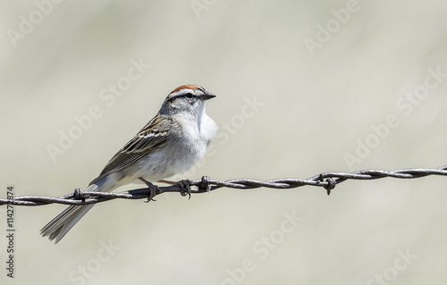 Chipping Sparrow on the Barbed Wire on the Plains of Colorado - Buy