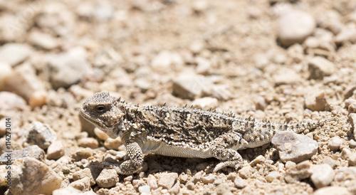 Hernandez\'s Greater Short-horned Lizard (Phrynosoma hernandesi) on ...