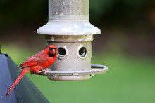 Male Cardinal Bird At Feeder