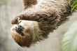 two-toed sloth on the tree eating lentils