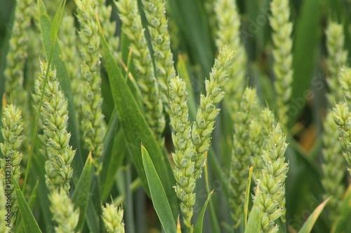 Fotografie, Obraz  Getreide Grün groß