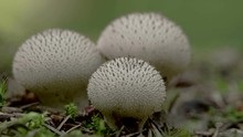 A White Puffball Mushrooms In The Forest It Has Spines On The Top Of The Puffy Mushroom