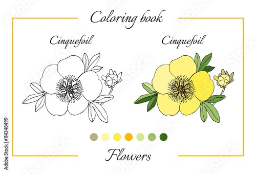 Fotografia, Obraz  Coloring book with beautiful cinquefoil flower