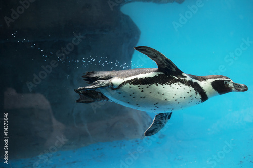 Closeup of Penguin swimming underwater