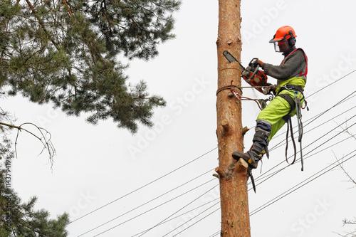 Fototapeta Ścinanie drzewa metodą alpinistyczną obraz