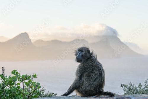 Fotografija  Monkey near Cape Point in Cape Town, South Africa