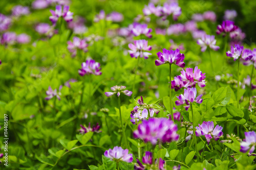 Beautiful blossoming astragalus flowers in spring Canvas Print