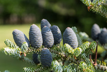 Cones Of Korean Fir - Abies Ko...