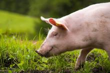 Ein Junges Hausschwein Läuft Auf Einer Grünen Wiese
