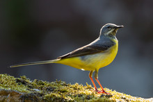 Grey Wagtail With Chicks