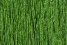 Brightness Green Horsetail