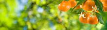 Image Of Ripe Sweet Tangerine Closeup