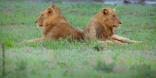 Two lions on grass