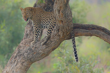 Leopard Relaxing In Tree
