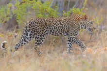 Leopard Walking Through Grass