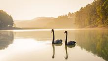 Black Swan In A Ponds