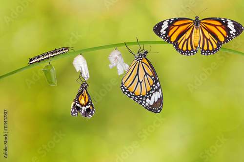 Poster Vlinder Transformation of common tiger butterfly emerging from cocoon