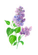 purple lilac, bouquet of flowers and leaves on a white background, watercolor painting, realistic illustration