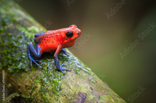 In de dag Kikker Strawberry Poison-Dart Frog (Oophaga pumilio), La Selva Biological Station, Costa Rica