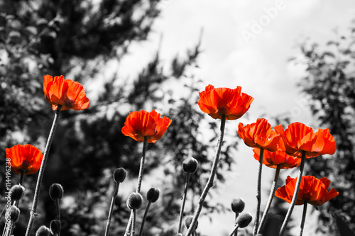 Red poppies. Monochromatic image. Toned image.