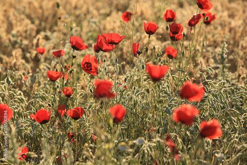 Foto op Canvas Klaprozen Poppy flowers field, close-up early in the morning