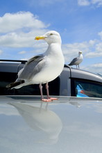 Two Gulls Standing On The Cars