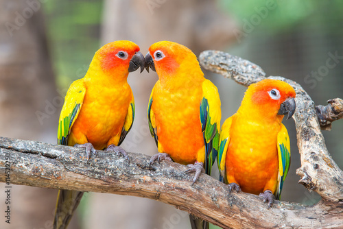 Deurstickers Papegaai Lovely sun conure parrot birds on the perch.