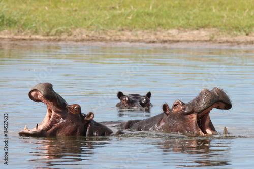 fototapeta na drzwi i meble Wild Africa Botswana savannah African Hippo animal mammal