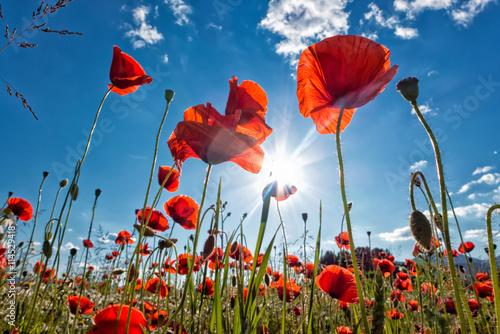 In de dag Poppy Red poppy on meadow