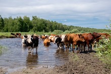 Cows Crossing The River On A S...