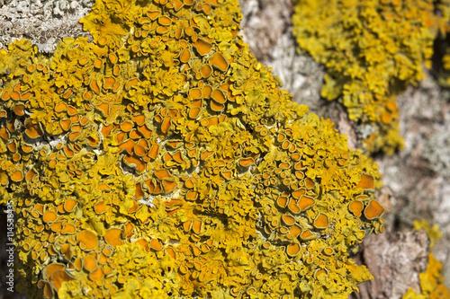 Macro shot of the common orange lichen (Xanthoria parietina) Wallpaper Mural