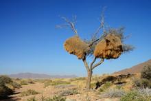 Weaver Bird Nest, Namibia