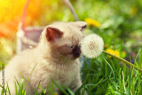 obraz lub plakat Little kitten sitting on the grass and sniffing dandelion with seeds