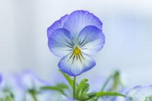 Nahaufnahme Von Blüten Einer Hornveilchen Blume