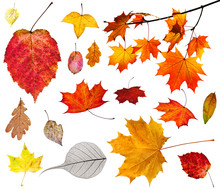 Set Of Various Autumn Leaves Isolated On White