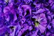 Leinwandbild Motiv pink fresh sweet pea flower background
