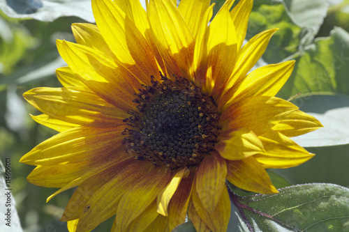 Printed kitchen splashbacks Sunflower Sunflower.