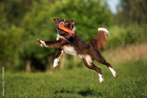 Canvas-taulu border collie dog catching frisbee