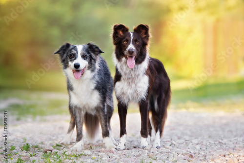 two beautiful border collie dogs standing together outdoors Fototapete