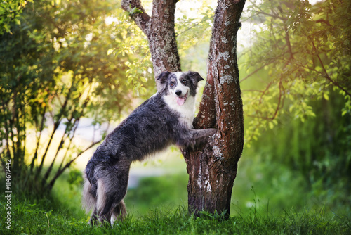 Foto border collie dog standing on a tree with paws