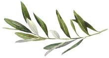 Watercolor Olive Branch On White Background. Hand Drawn Watercolor Illustration, Painting The Olive Tree.