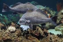 Black Drum Atlantic Ocean Fish...