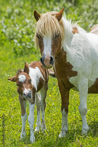 Photo  Mother and baby wild ponies of Grayson Highlands State Park.