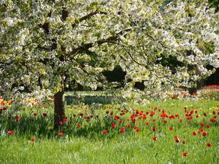Panel Szklany Optyczne powiększenie Blühende Tulpen auf einer Wiese unter einem blühenden Obstbaum