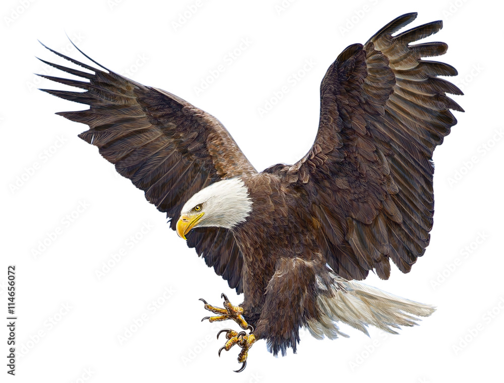 Fototapeta Bald eagle landing swoop hand draw and paint on white background illustration.