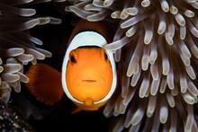 Clownfish Symbiosis With Anemone
