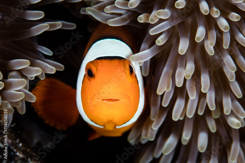 Fotomural La simbiosis pez payaso con la anémona